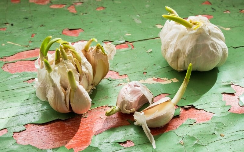 Consigli per consumare l'aglio germogliato