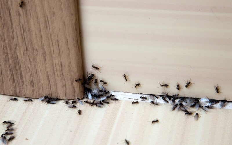 prevenzione contro la comparsa delle formiche
